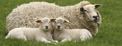 Two-Little-lambs-and-mother-sheep